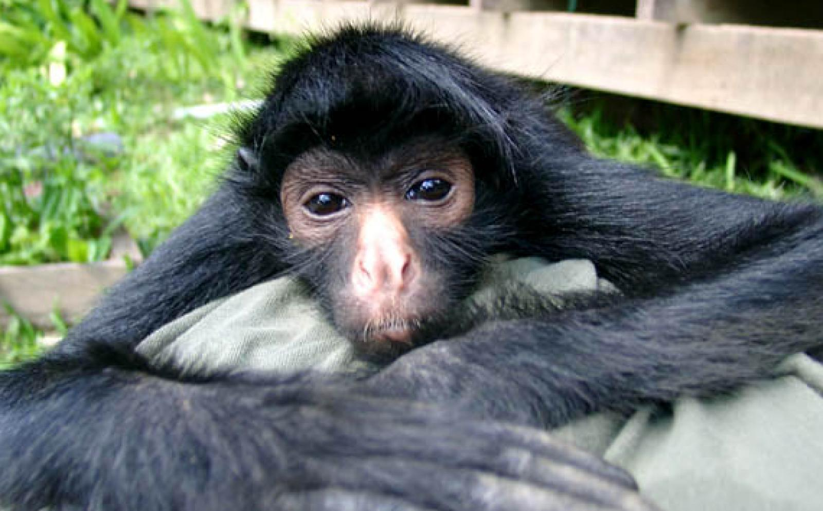 A spider monkey relaxing at the animal rehabilitation center in Peru